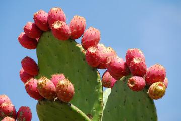 cactus fruit aan de plant