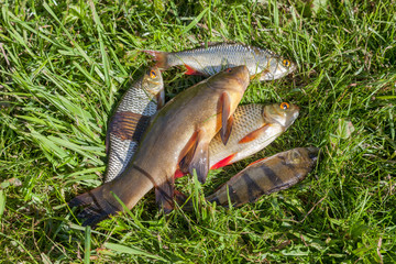 Freshly caught river fish on the green grass
