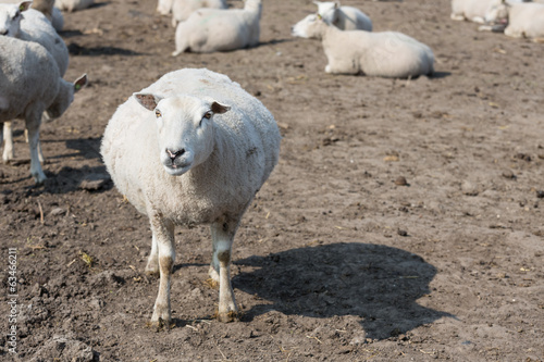 Pregnant sheep in Dutch countryside