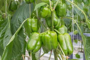 Cultivation of green peppers in a Dutch greenhouse