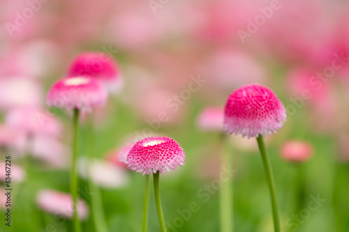 Group of purple bellis flowers with selective focus