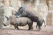 Rinocerontes apareamiento