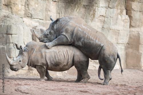 Fotobehang Neushoorn Rinocerontes apareamiento
