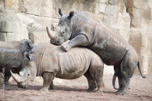 Rinocerontes apareamiento 2