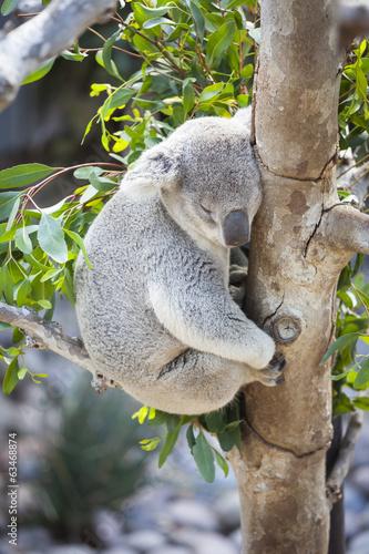 Staande foto Kameleon Sleeping Koala