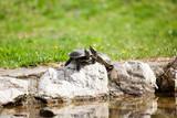 Pair of Midland Painted Turtles (Chrysemys picta marginata) poster