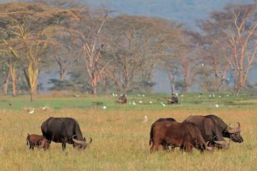 African buffaloes with egrets, Lake Nakuru