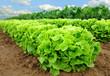 Salatpflanzen vor der Ernte
