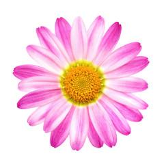 Perfekte rosa Margerite auf Reinweiß