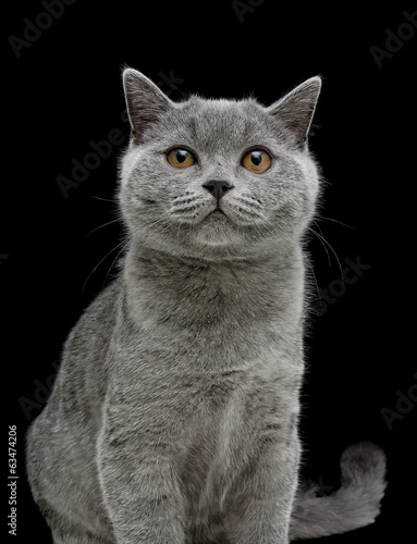 kitten (breed Scottish Straight) on black background. vertical p