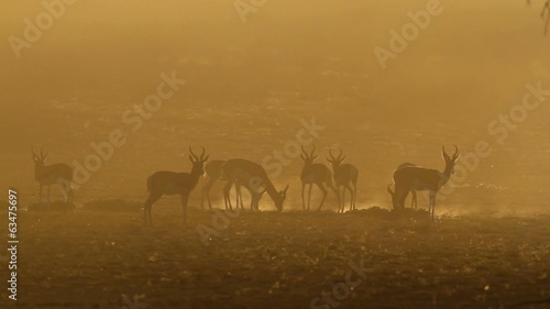 Springbok antelopes in dust at sunrise, Kalahari desert
