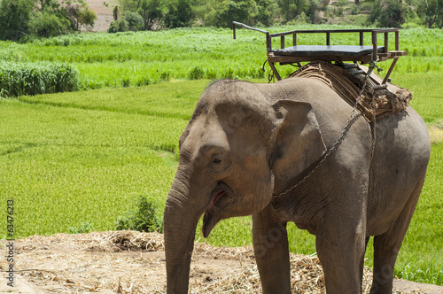 Young elephant in elephant camp, Thailand.
