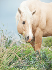 portrait of palomino stallion of quarterhorse breed.
