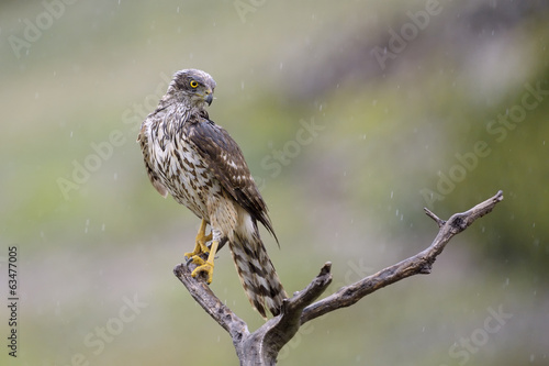 Goshawk in a tree while raining.