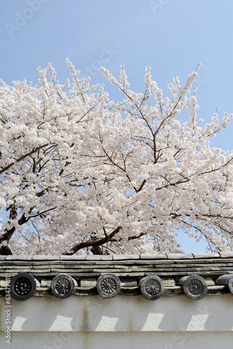 Fridge magnet 桜