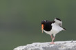 Oystercatcher screaming and standing on rock.