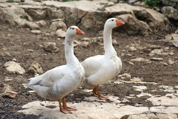 mediterranean ducks