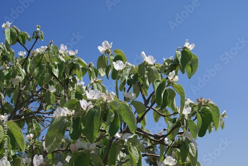 quince fruit tree blossoms
