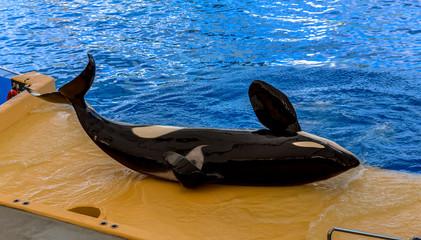 A killer whale laid down during a show