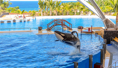 A killer whale jumping out of water during a show