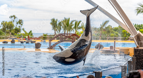 A killer whale performing acrobatic jumps during a show