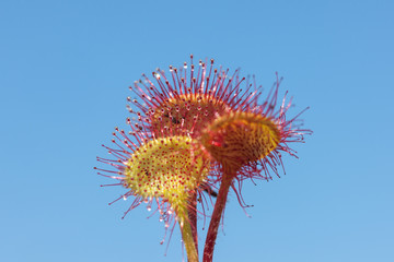 sundew against the sky