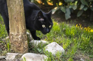 Gatto nero in agguato