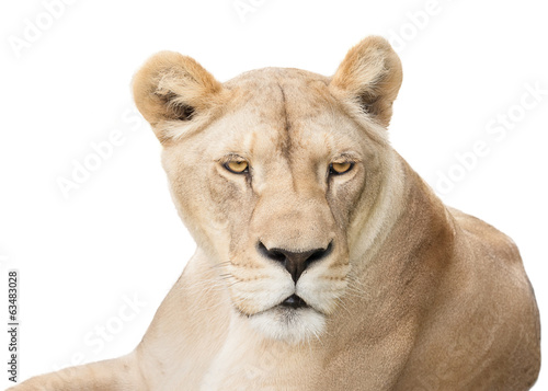Lioness looking back
