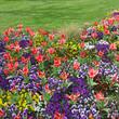massif de tulipes et de pensées