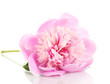 Pink peony isolated on white