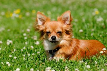 Chihuahua dog on green grass