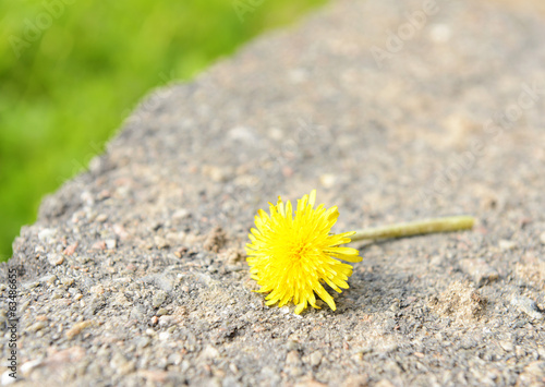 Beautiful dandelion, outdoors