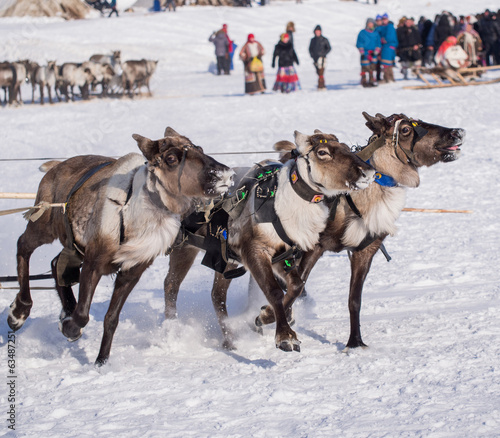 trio of running yamal reindeers