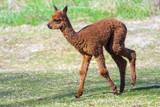 Alpaca (Lama or vicugna pacos) calf