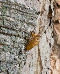 A cicada slough