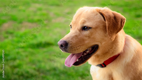 Labrador retriever dog in the meadow looking in the distance