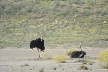 Ostrich (Struthio camelus). Mating pair in kalahari desert