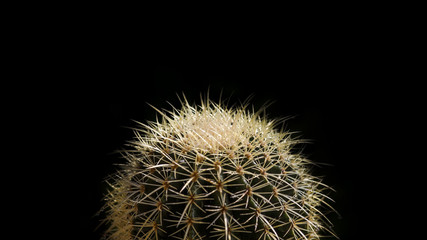 Golden ball cactus isolated on black