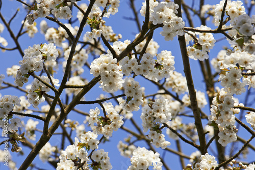 Cherry plum flowers in spring