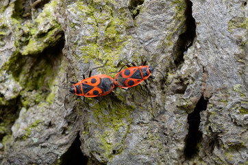firebug couple