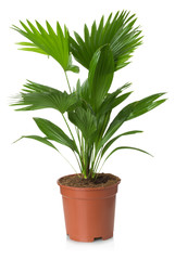 Livistona Rotundifolia palm tree in flowerpot