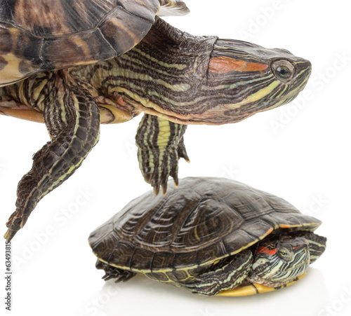 turtles on a white background