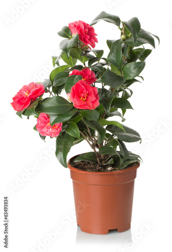 red camellia flowers on the white background
