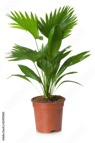 Staande foto Palm boom Livistona Rotundifolia palm tree in flowerpot