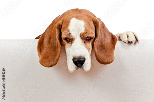 beagle on white background