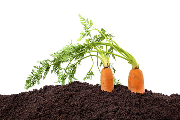 organic carrots in soil isolated on white