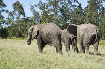 Herd of African elephants walking in grasslands. South Africa