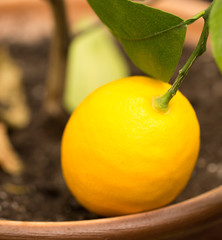 Lemon on a branch