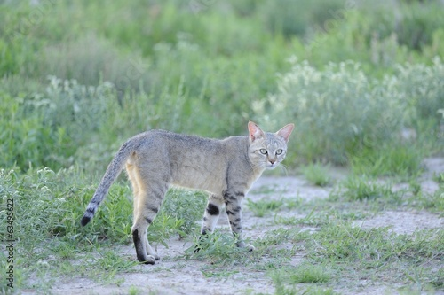 African Black-footed wild cat (Felis negripes) in Kalahari Deser