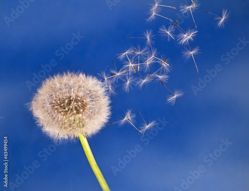 Dandelion seeds on the breeze, blue sky
